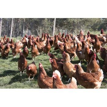 Le galline vivono libere e serene producendo uova migliori